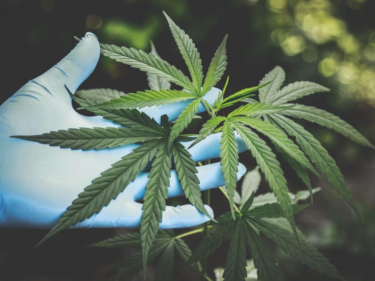С чем можно мешать коноплю марихуана поднимает давление